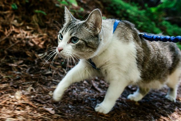 Cat Hiking