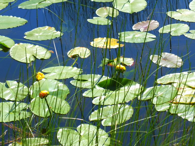 Fish Lake lilly pads