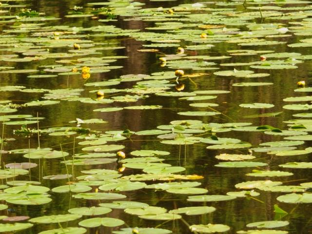 Fish Lake lilly pads