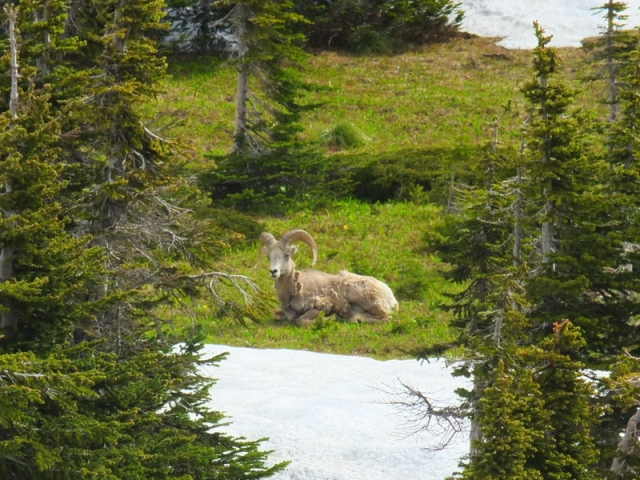 Mountain Sheep at Logan Pass
