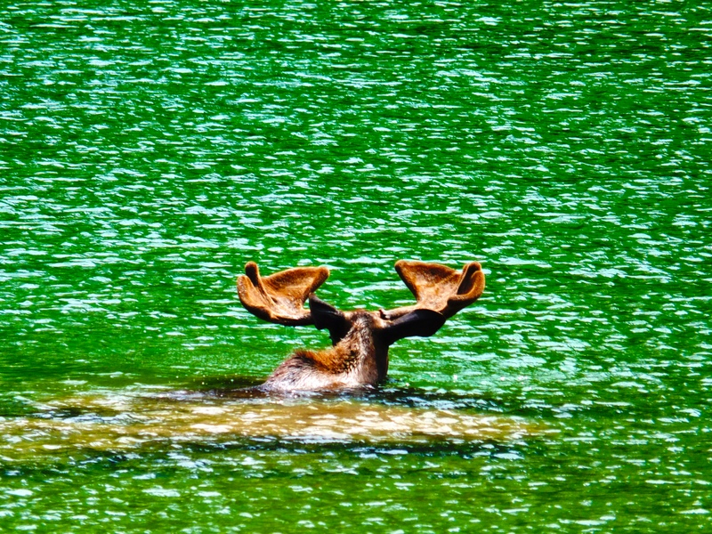 Moose swimming in Redrock Lake