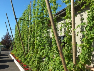 Hops growing at Crux
