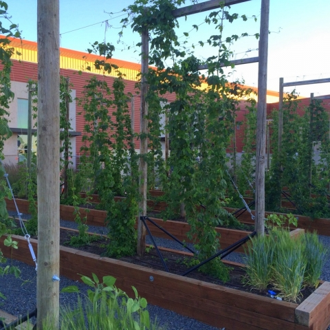 Worthy Brewing hop garden