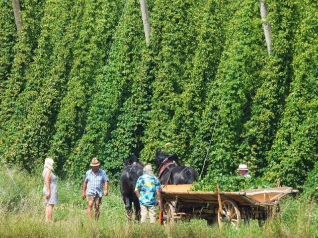 Harvesting some hops for the fest