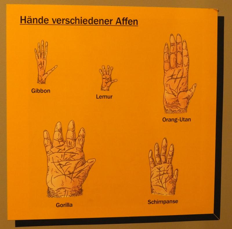 ape hands