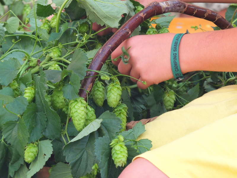 separating hops flowers from the vine
