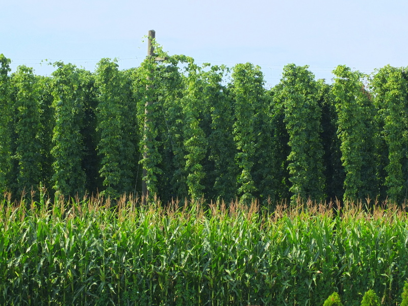 hops field next to cornfield