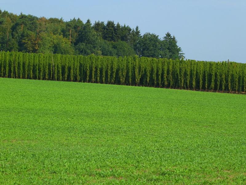 hops field