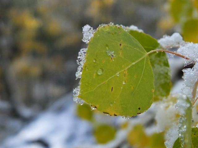 Aspen leaf still green