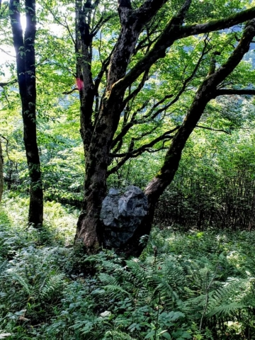 rock in tree