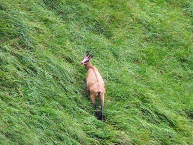 alpine chamois below