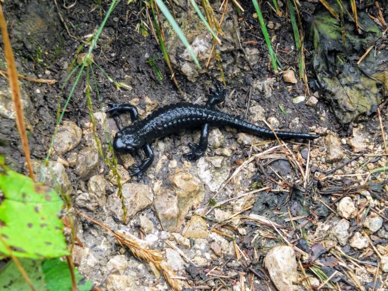 Alpine Salamander