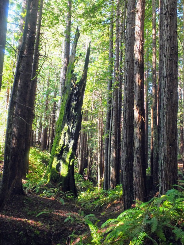 Hiking in the Redwoods