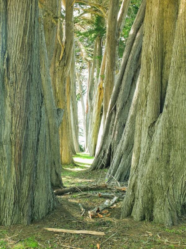 Cypress windbreak