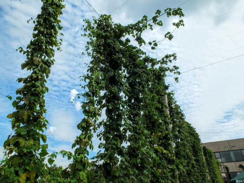 Hops plants at Hopfengarten