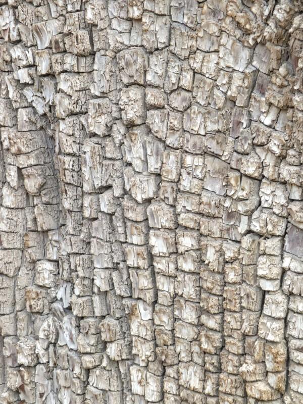 alligator juniper