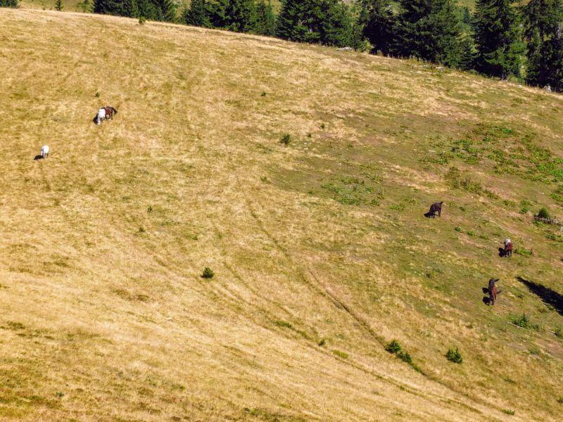 roaming horses