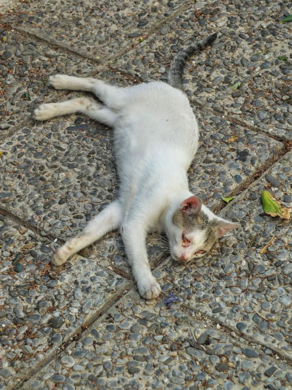 Cat of Kotor