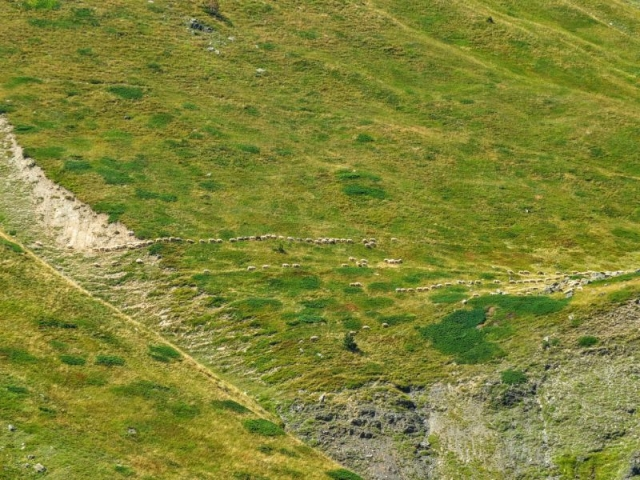 sheep streams on the mountainside
