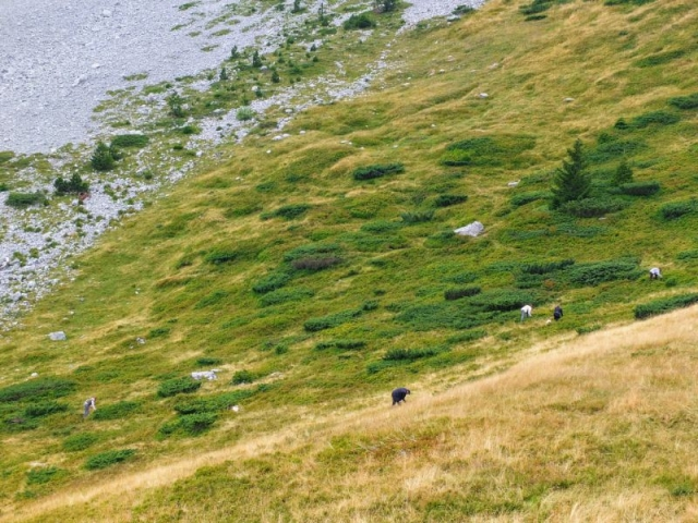people gathering wild blueberries on the mountainside
