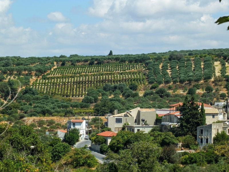 vineyard and olive groves