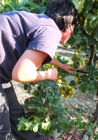 Stella inspects a vine