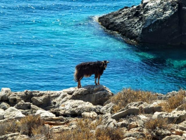 sea goat