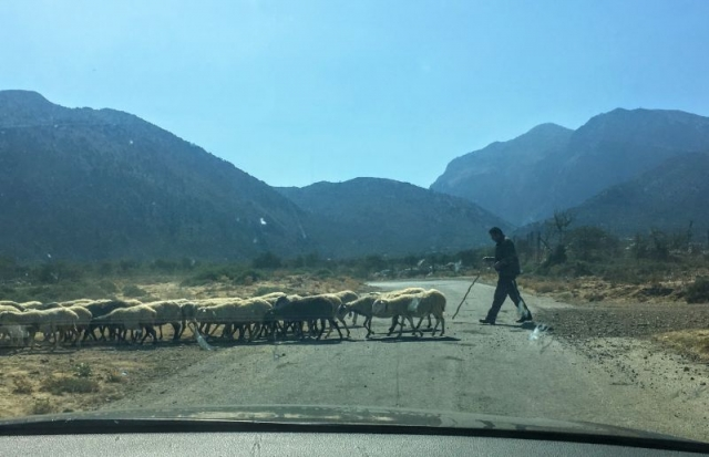 sheep crossing on the road to Omalos