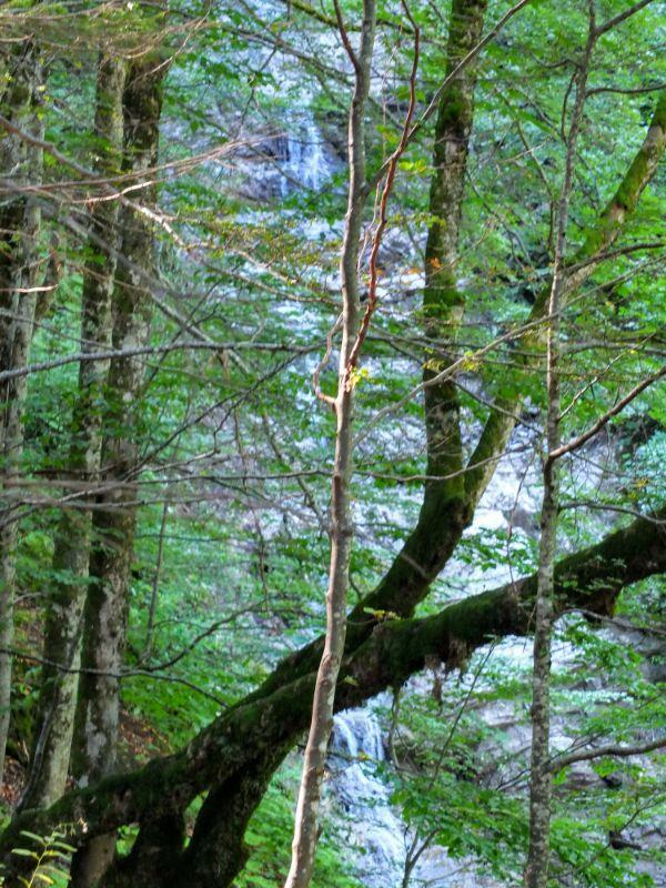 falls through the trees