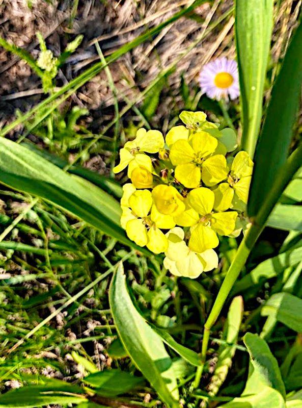Alpine Wallflower
