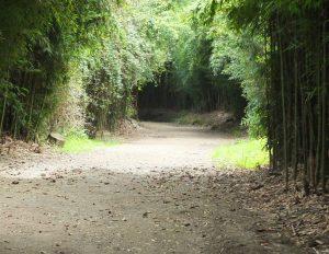 trail through bamboo